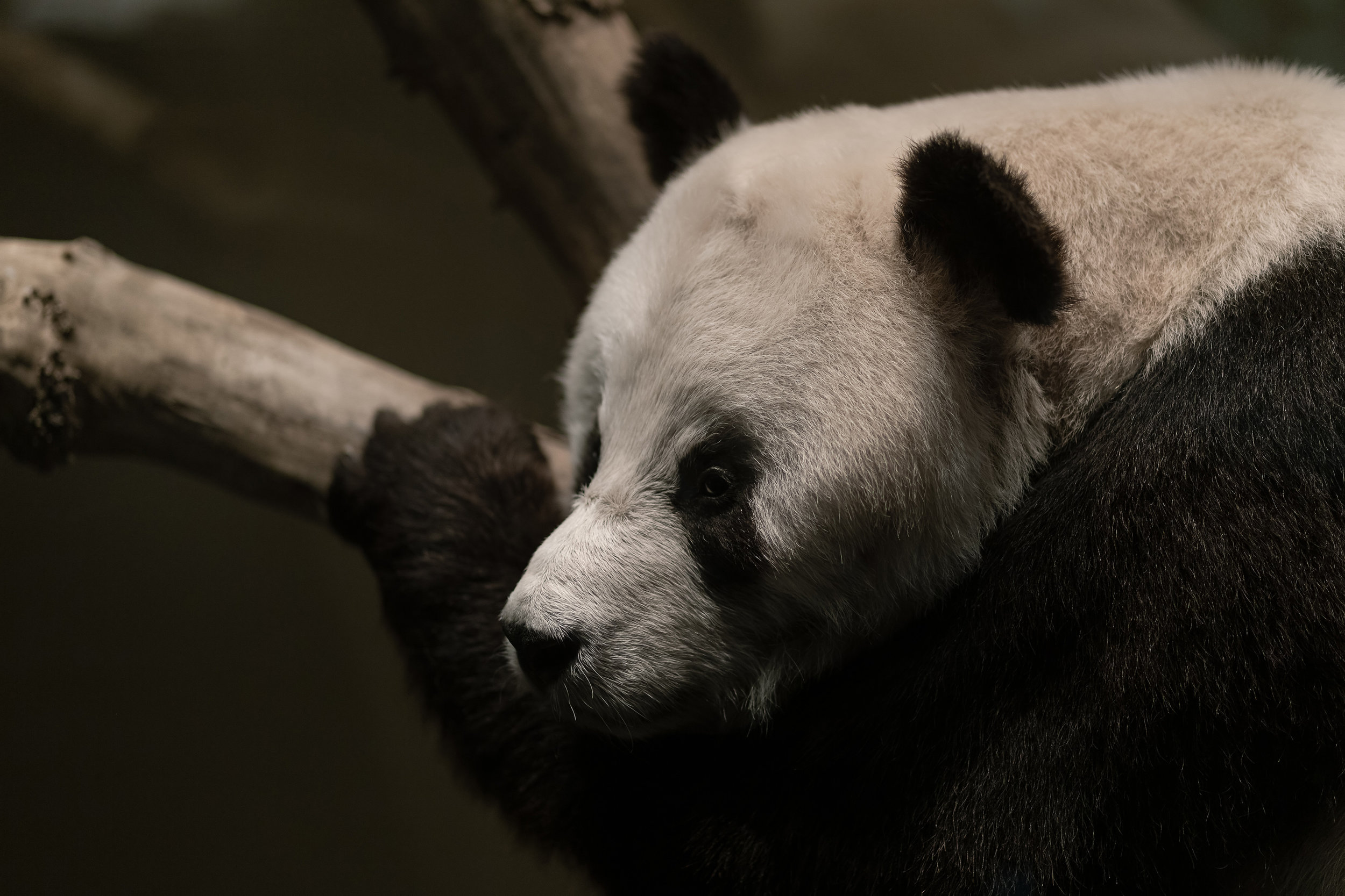 Portrait of a taxidermied great panda at the Naturkundemuseum, Berlin.