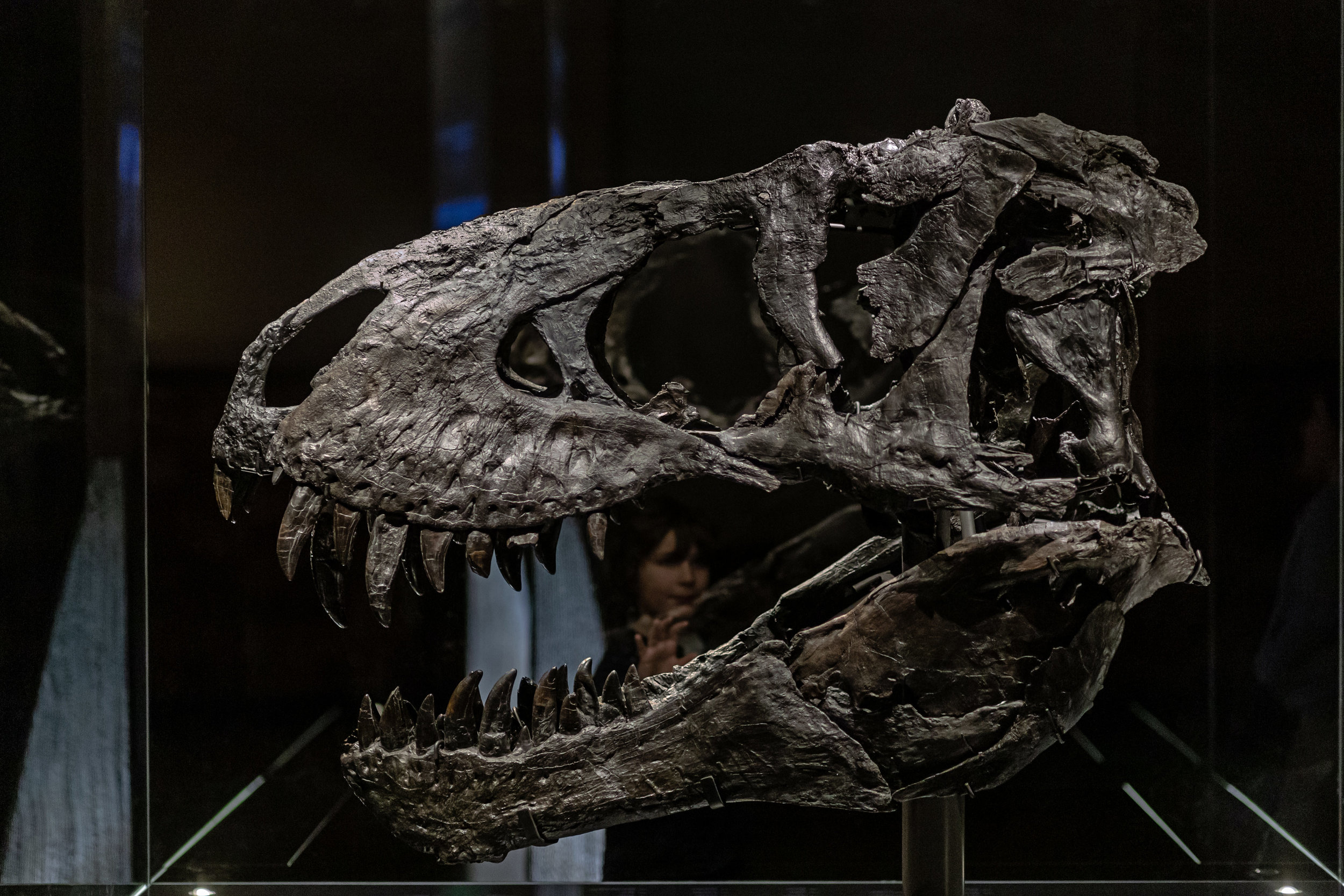 A young boy watches at the skull of Tristan, a 67 million year old fossil of a Tyrannosaurus Rex, during the Tristan - Berlin Bares Teeth exhibition.