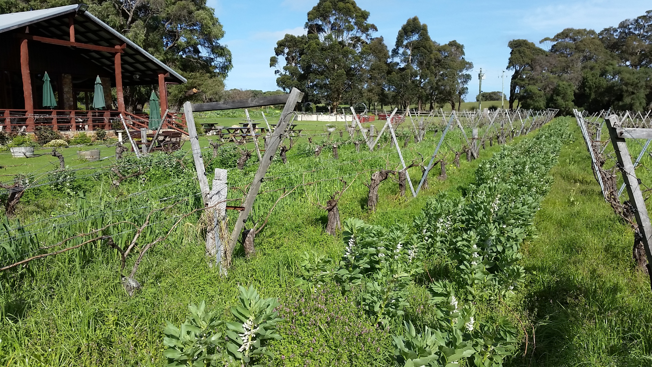 Cullen Wines bud burst and cover crop.jpg