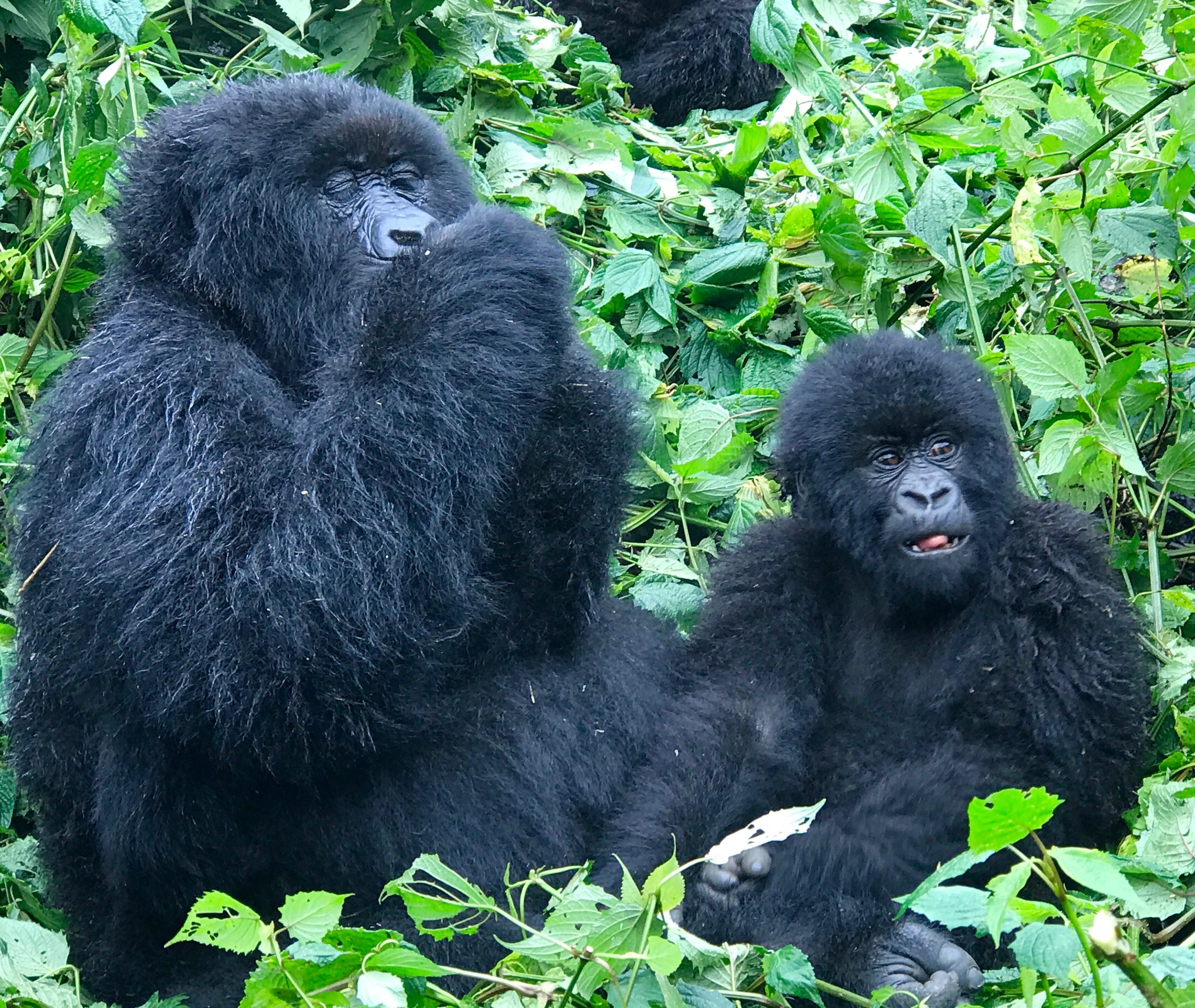 A momma gorilla and her baby, enjoying a beautiful afternoon in the jungle.