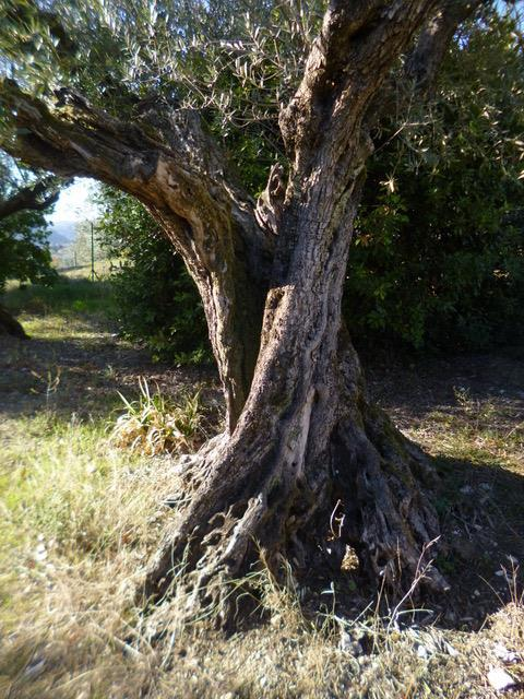 This is our oldest olive tree. It's 100 years old. -