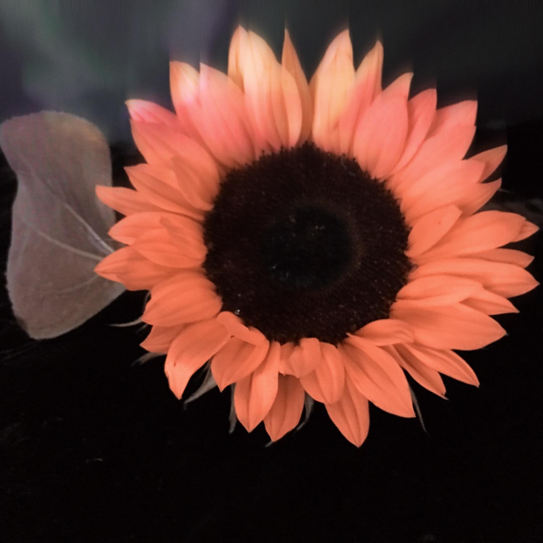 ©Pink Sunflower by Dena T Bray.