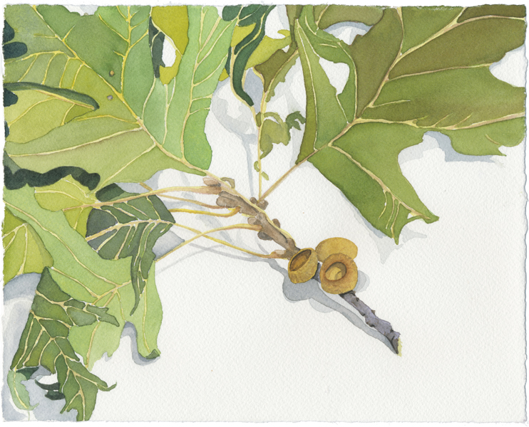"""Oak Branch"", 2008, 8""x10"", watercolor on paper"