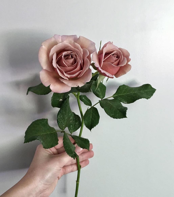 blush garden roses for a bridal bouquet