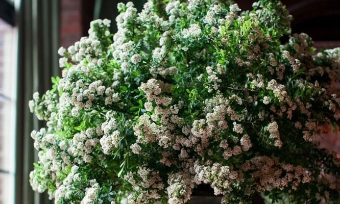 Spirea: - Season: springAlthough the spirea to the right has blossoms, we also love using spirea that doesn't have a lot of blooms! Like many of the other plants on the list, spirea adds texture, shape and fullness because of the fluffy small blooms that come off of it!