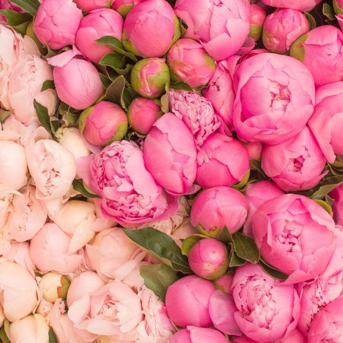 Peonies - Peonies hands down have the best colors! They are lush and full and are perfect at every stage of their bloom cycle for bringing unbridled romance. When they are tight spheres, just about to pop or fully bloomed in all their splendor - we take them all.