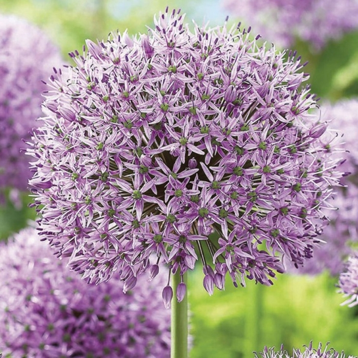 Alium - A little reminiscent of a Dr. Seuss book, using Alium is not for the faint of heart, but more for a whimsical statement flower! Keep an eye out for this one to make an appearance in our future bouquets and arrangements!