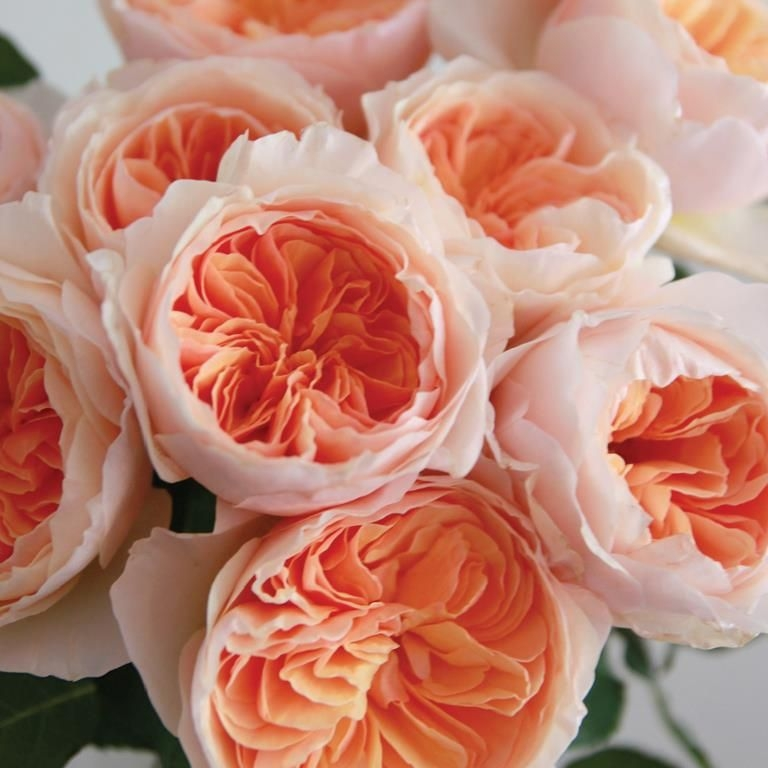 Garden Roses - Garden roses signal the official start of summer. SO lush and fragrant, some of our favorites are Koko Loco, Distant Drum, Juliet, Patience, Jude the Obscure, and Lichfield Angel. Check out local farms and growers. for the best selection!