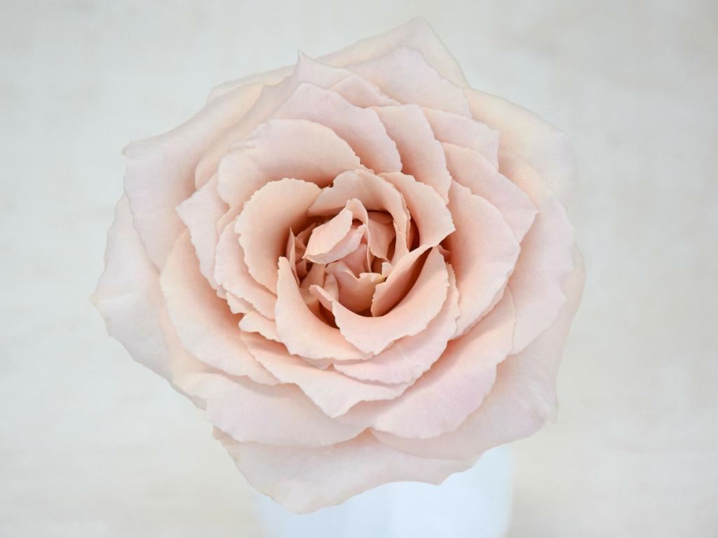 bridesmaid rose good seed floral