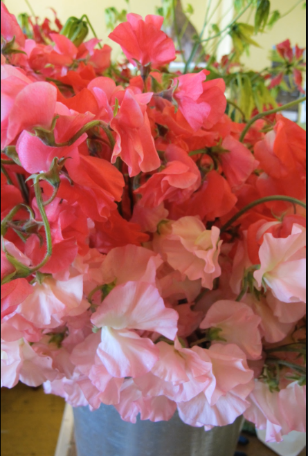 Close-up-of-Japanese-Sweetpeas.png
