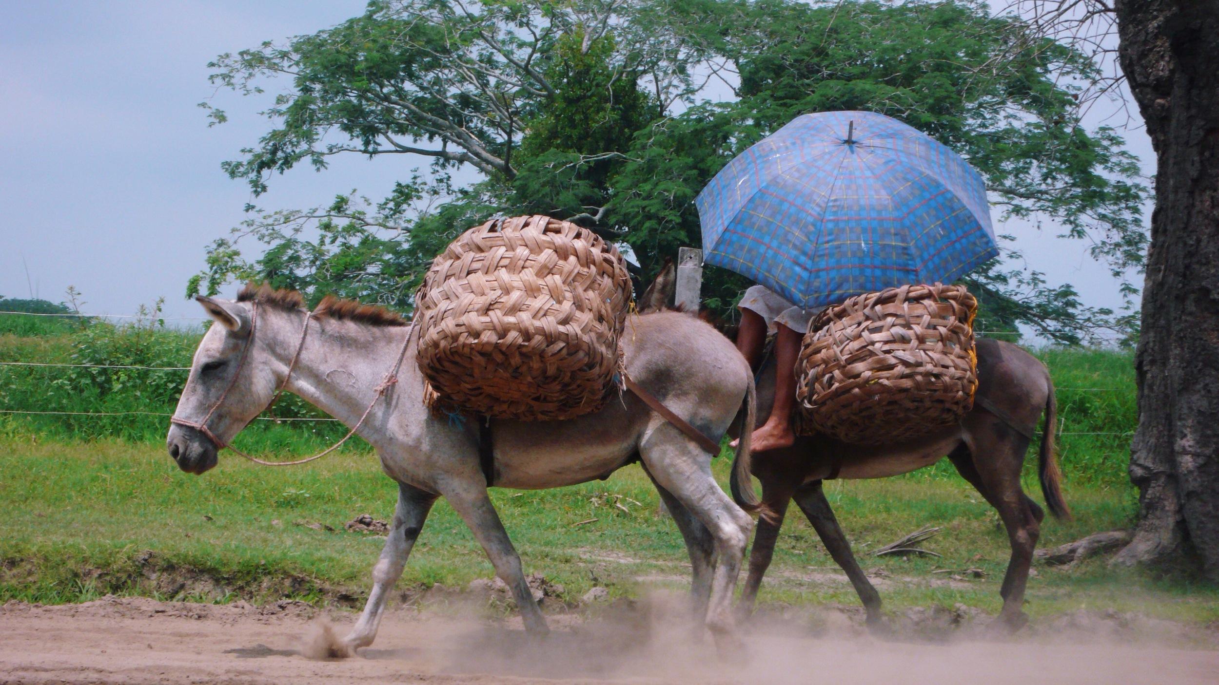 colombia donkey and umbrella.jpg