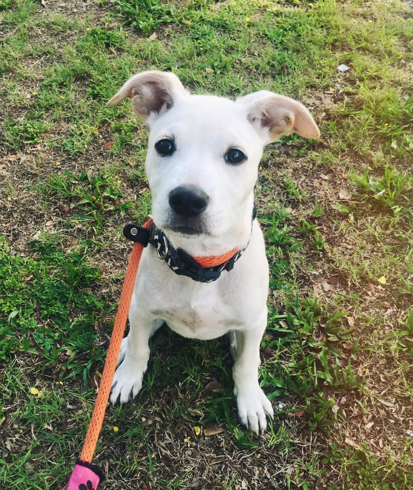 Meet Douggie! This adorable little guy loves prancing in the grass, chewing on his leash, and of course letting his ears flop in the wind