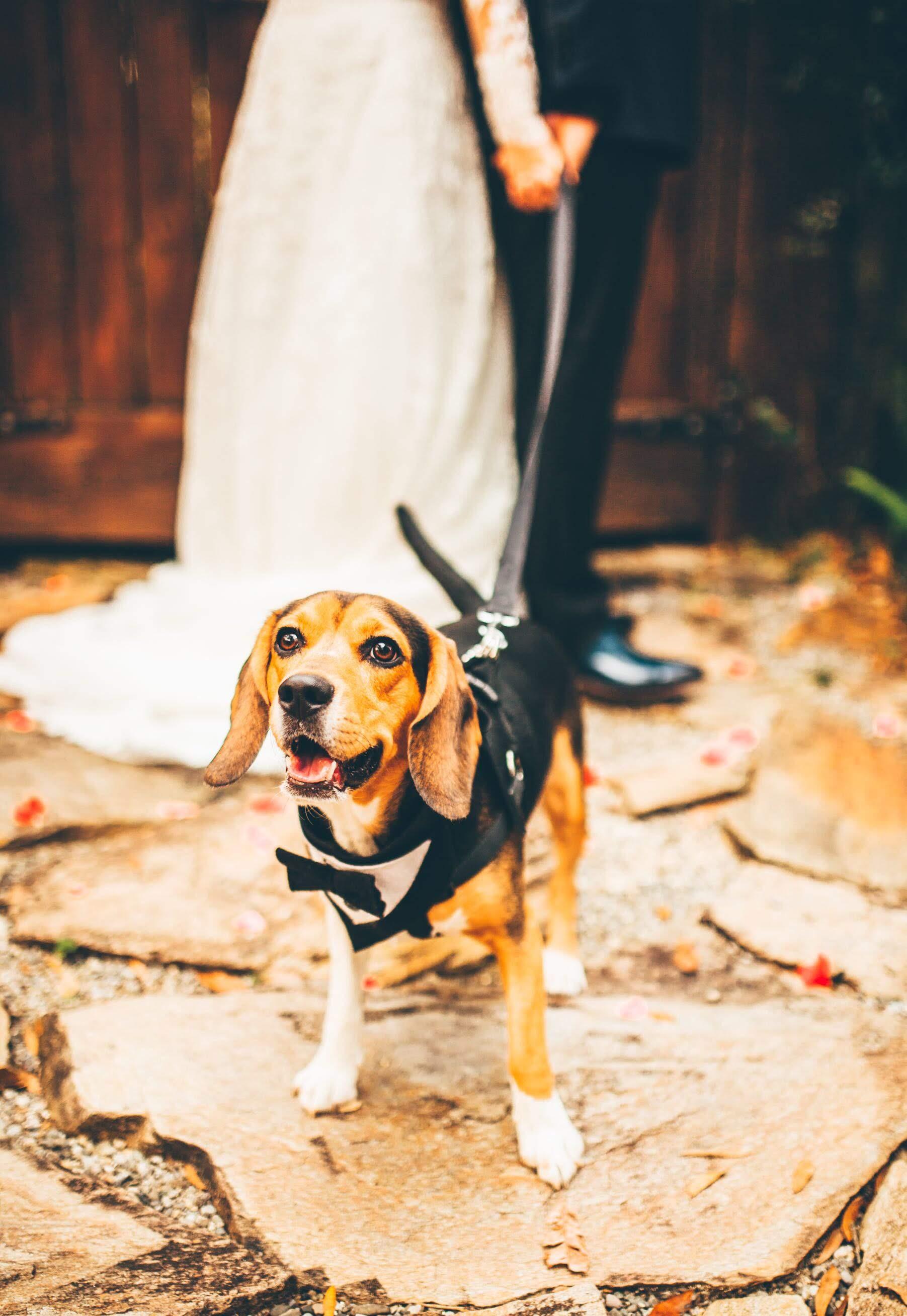 beagle-in-tuxedo