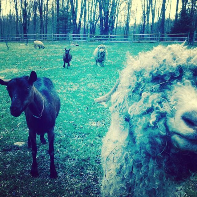 Sheep Shearing