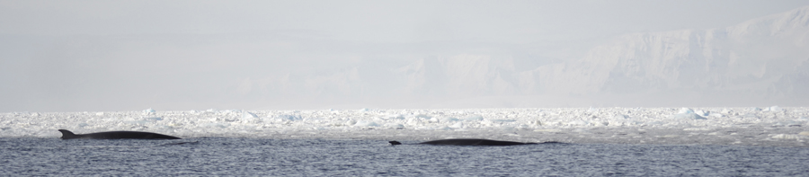 Minke whales cruising in front of a patch of ice.