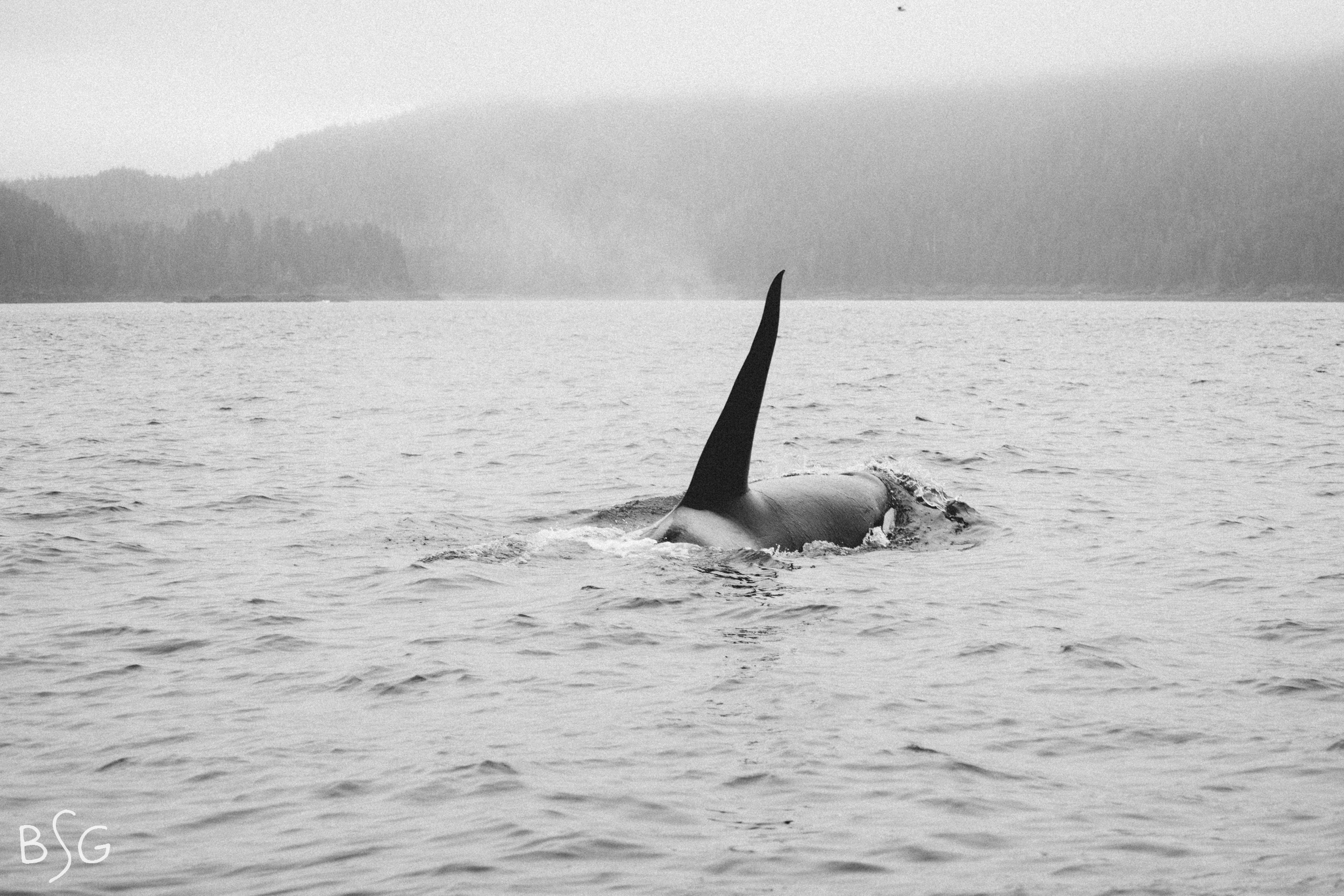 The morning began with a six foot tall dorsal fin slicing through the sea in front of us. This is a transient orca, he was solo prowling through the waters hunting for marine mammals. In this way, both Wade and this orca share a similar niche in this ecosystem- hunting marine mammals. Wade has had many encounters with the local pod of killer whales sometimes following, circling and diving below his small skiff, especially when freshly hunted otters or seals are on board.