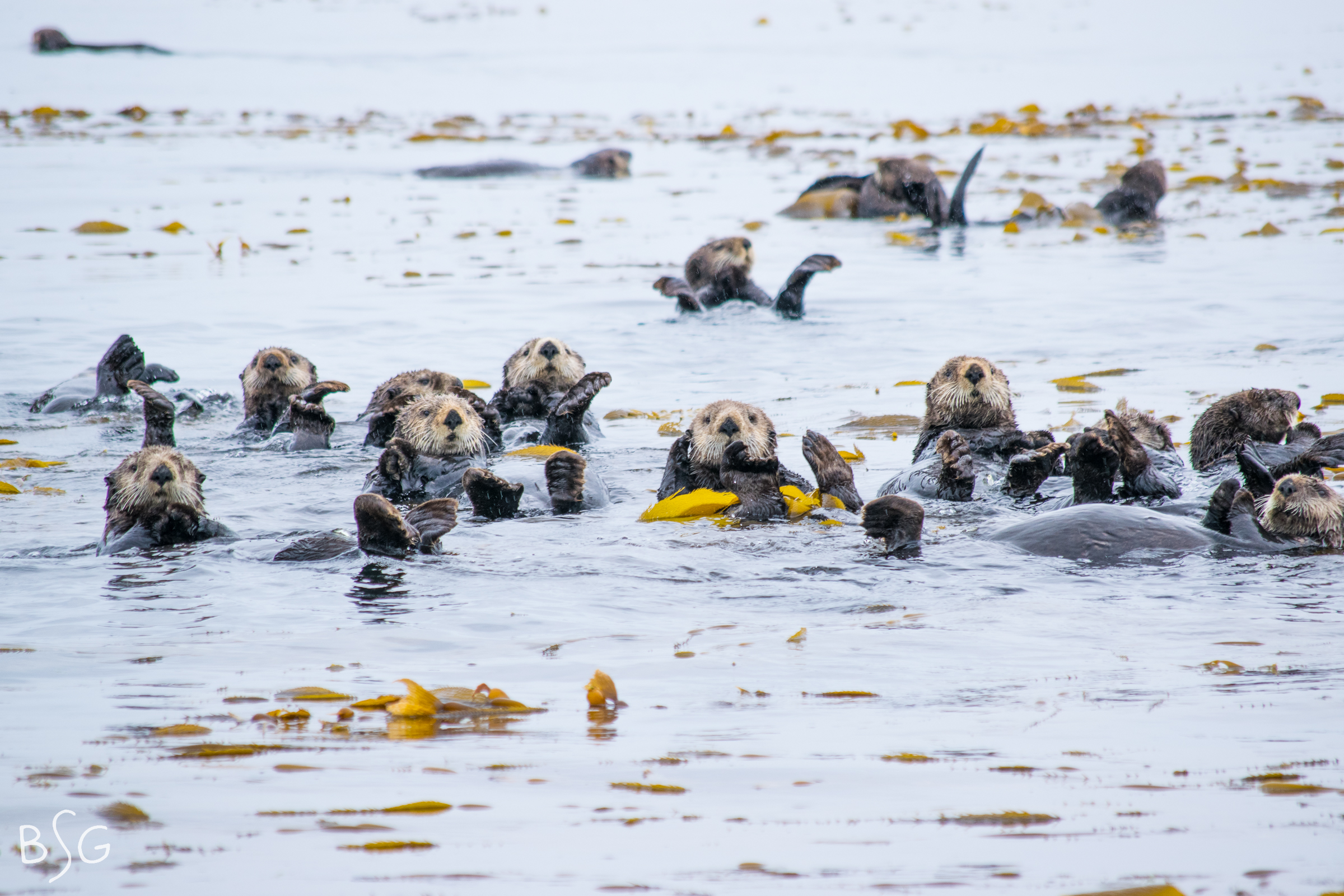 A raft of male sea otters relax in a bed of kelp in Sitka Sound, Alaska.