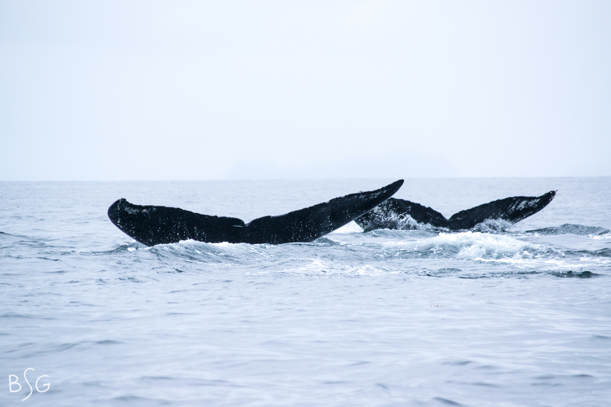 Nine humpbacks dive together, two flukes pictured above.