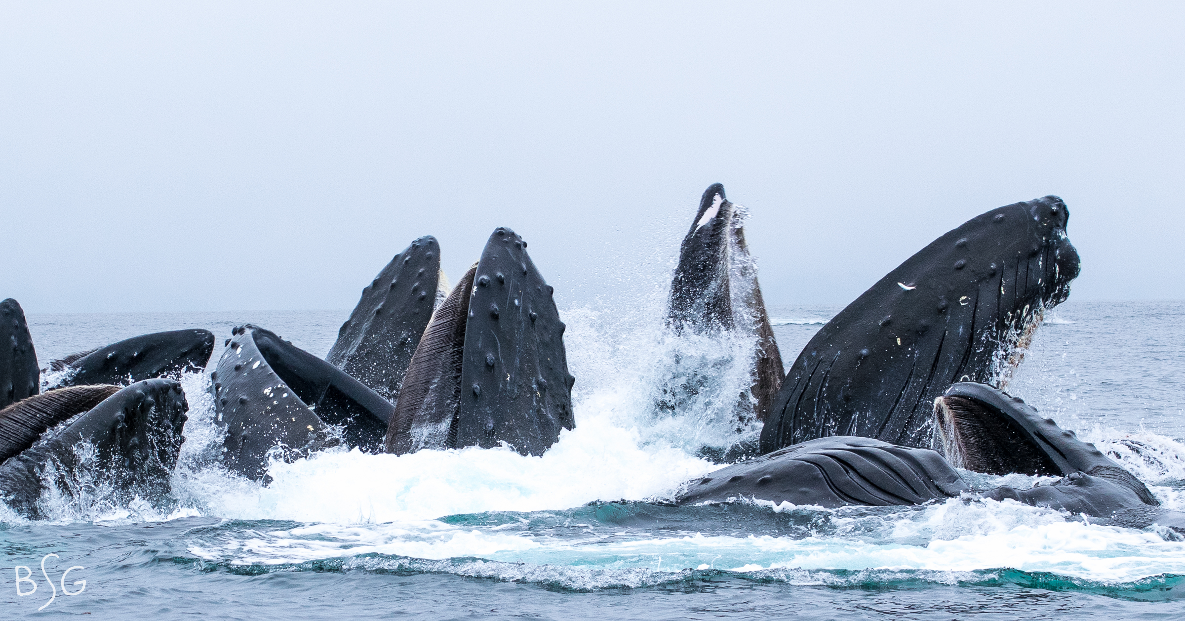The humpback's enormous jaws slap open and small fish trampoline off their pleated throats