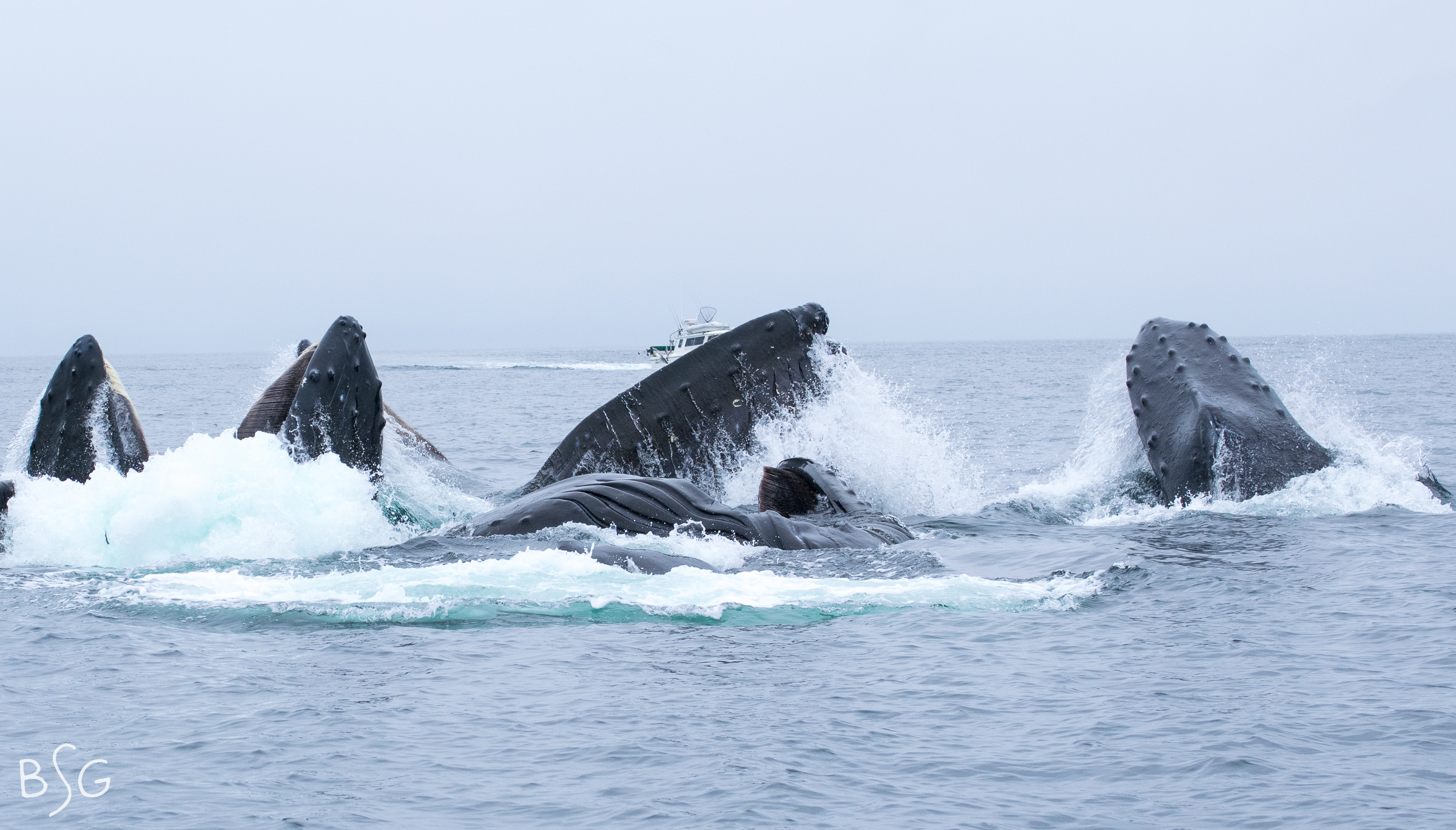 The final humpback (nine total) surfaces to the far right.