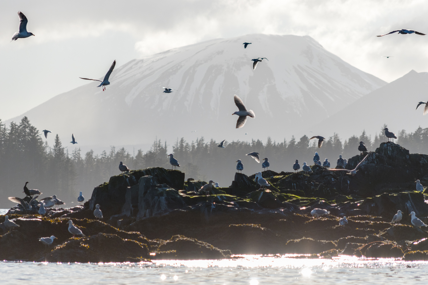 During herring season, life returns to our shores. Whales, seabirds, sea lions all flock to the sound in high numbers. Here, seagulls pick eggs off the rocks of Gavanski Island. Mount Edgecumbe, Sitka's neighboring volcano looms in the background on Kruzof Island.