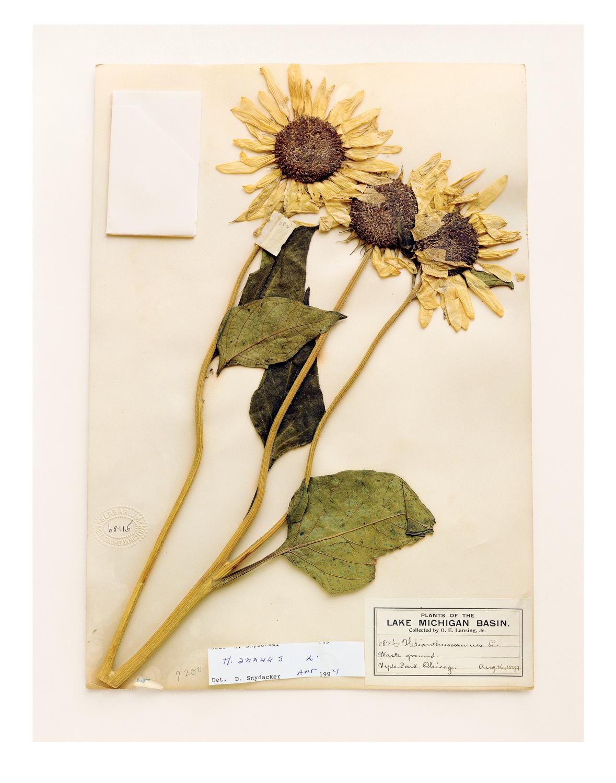 sunflowers09.jpg