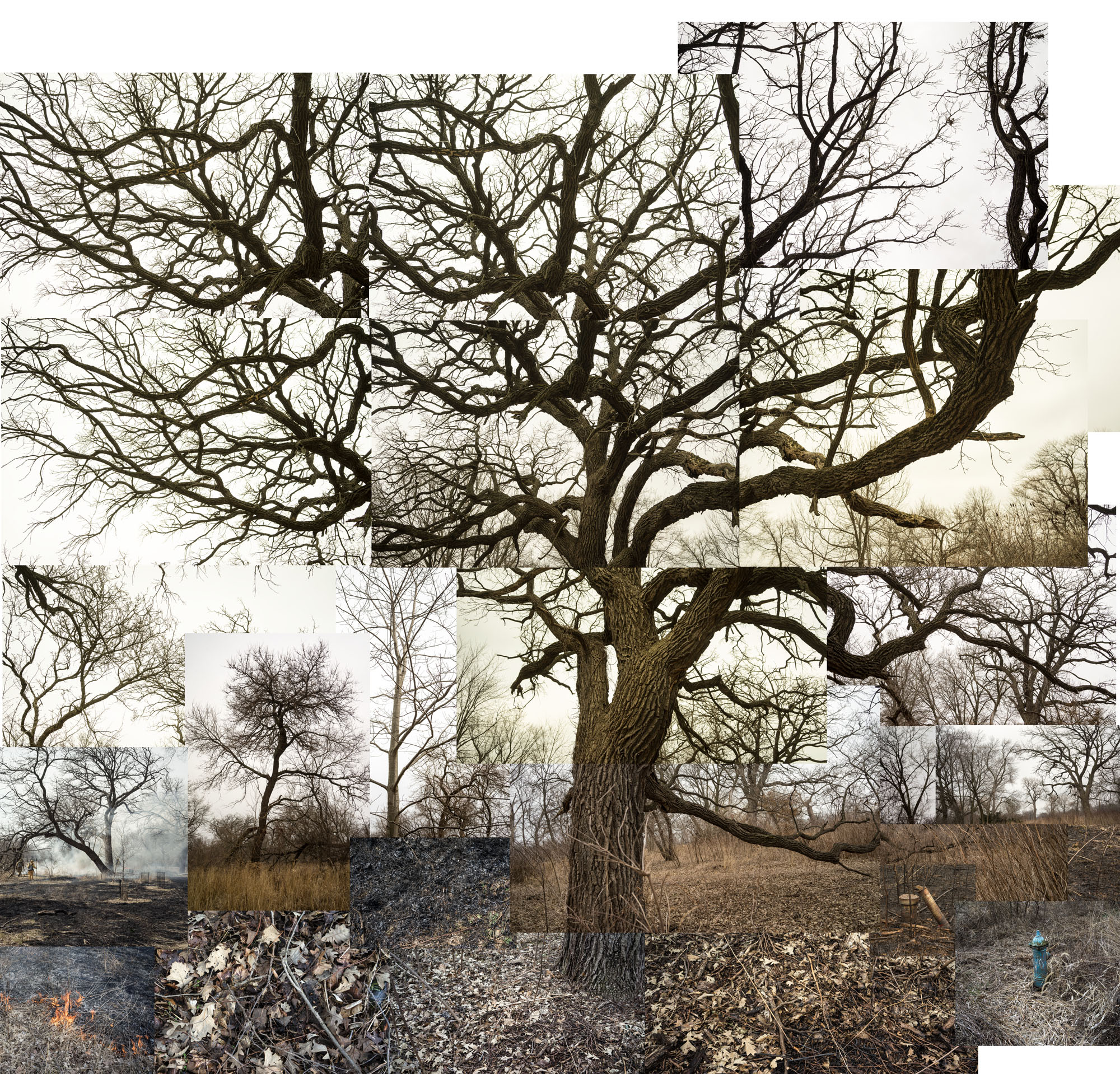 Bur Oak Feb. March 19best one.jpg