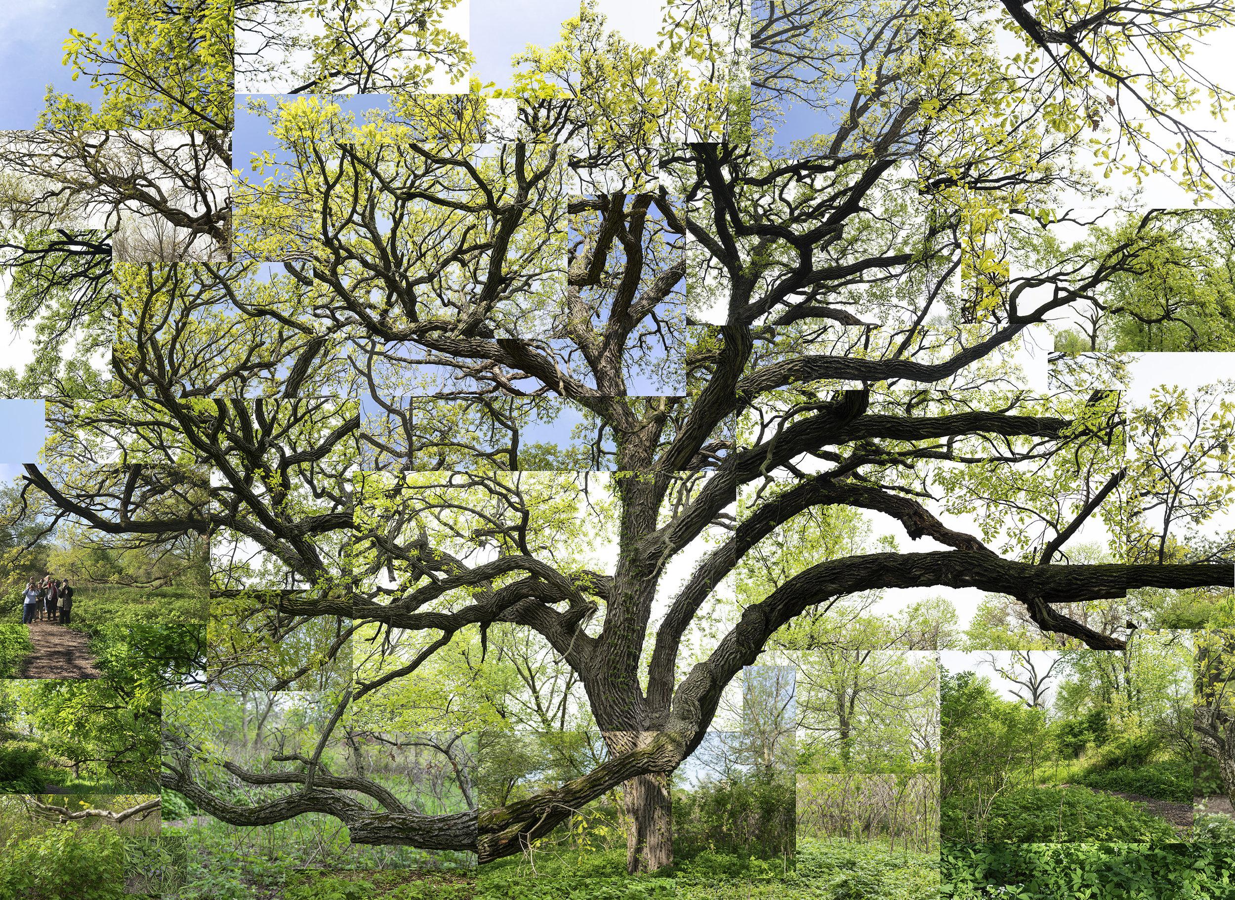 Spring bur oak1 FLATTENED-5-26-19.jpg