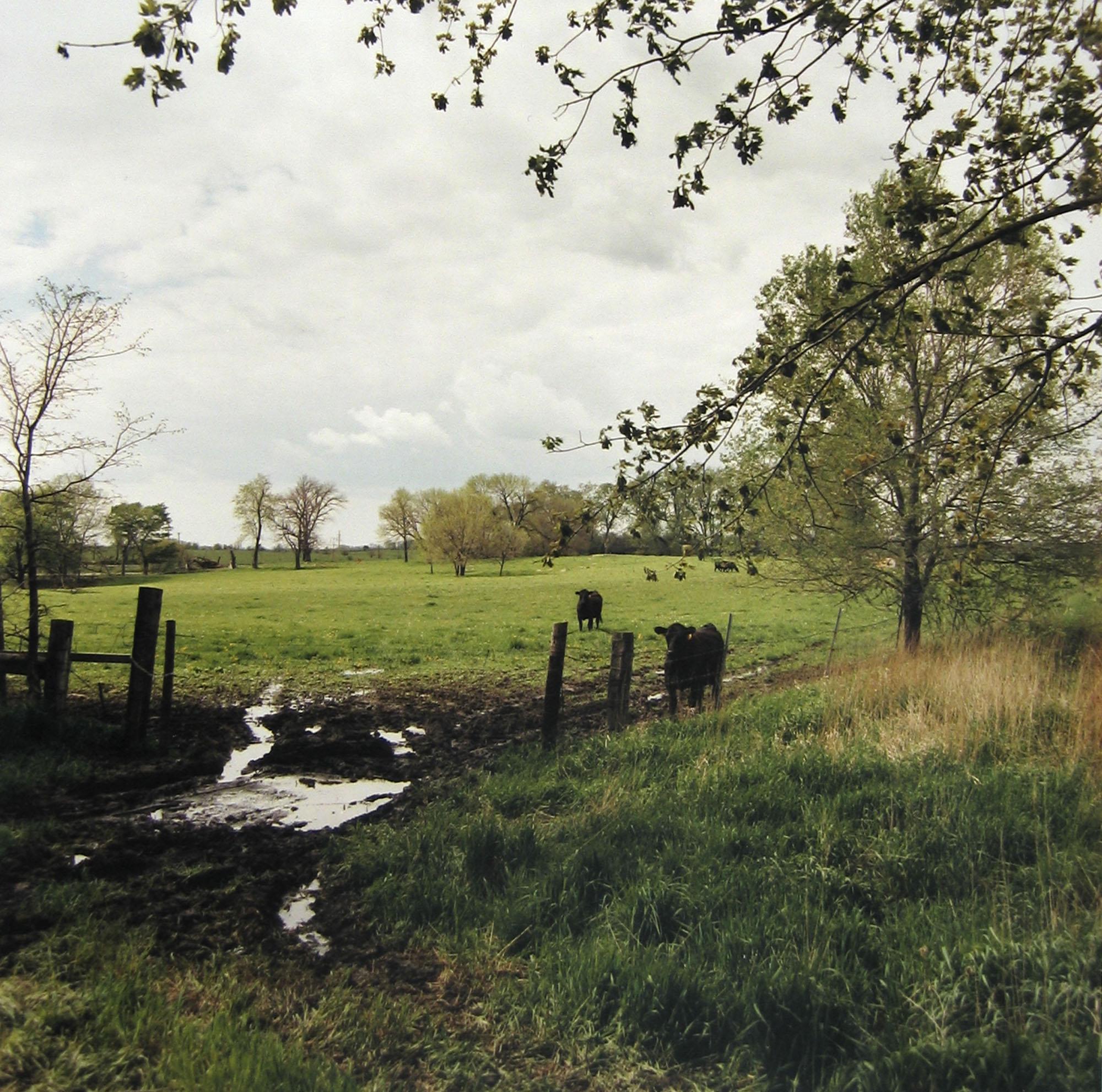 Cattle grazing, Joliet Arsenal, east side, May 1995