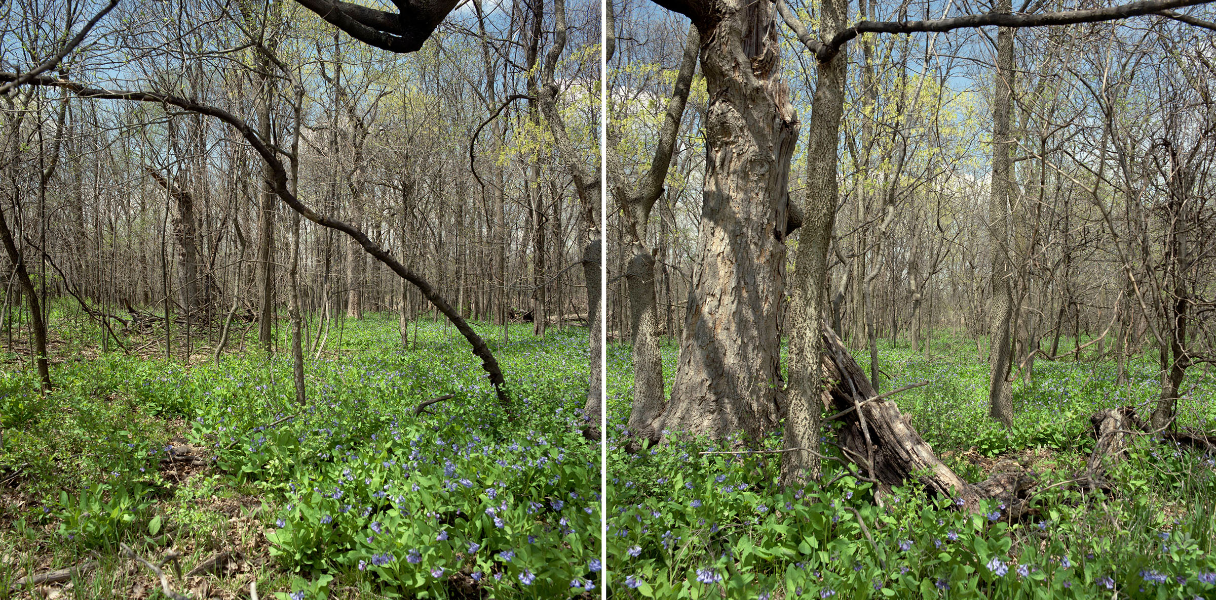 Starr Grove with Virginia bluebells, May 1995