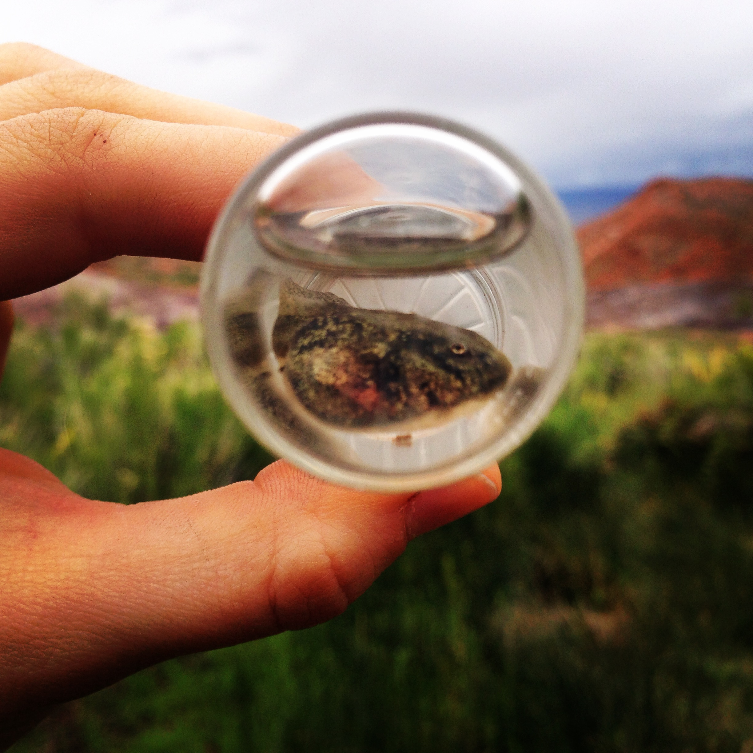 Leopard frog tadpole found in northern Arizona. An example of the types of specimens SSI collects and sorts for springs monitoring. This particular specimen was returned to its habitat after identification. Photo by Molly Joyce.