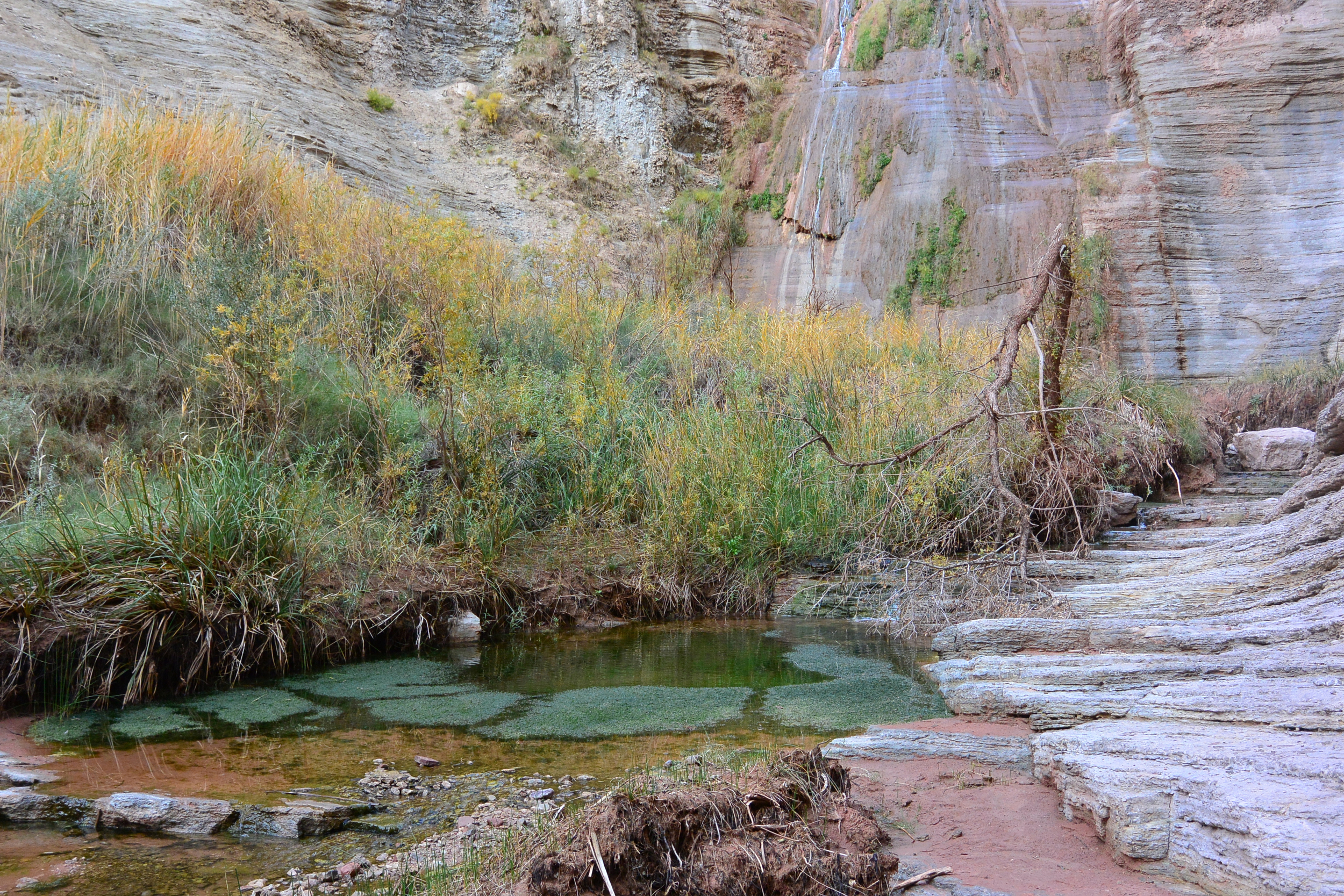An unnamed spring in Grand Canyon National Park. One of many virtually unmapped or surveyed, this spring plays host to many springs-dependent species including McDougall's Flaveria. Photo by Rich Rudow.