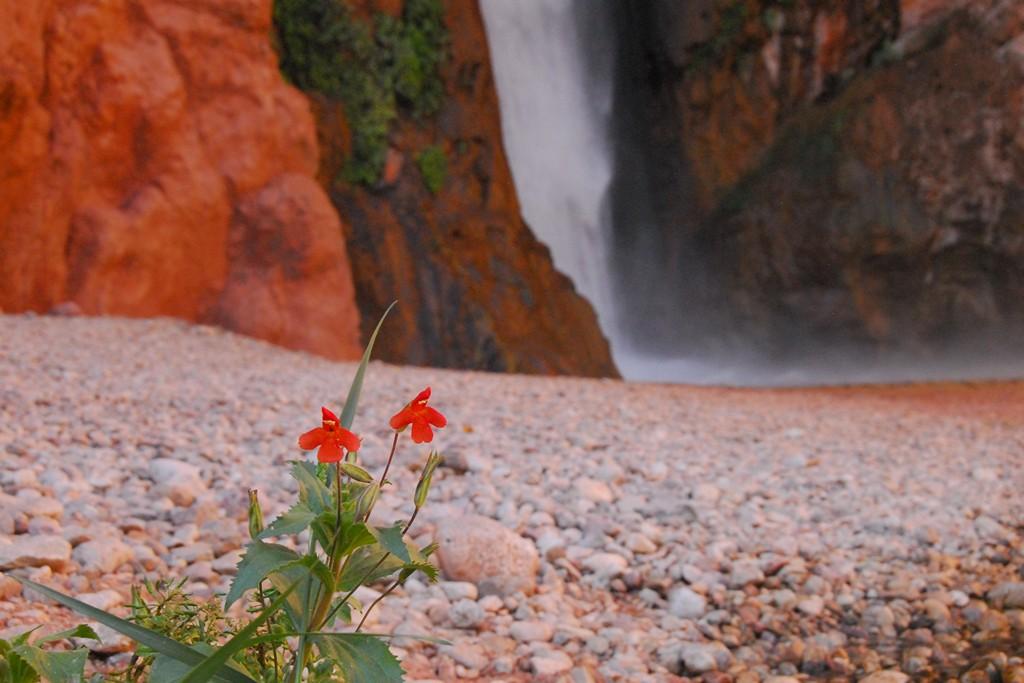 Crimson monkey flower, a variety found at Vaseys Paradise. Photo courtesy of Kaibab.org.