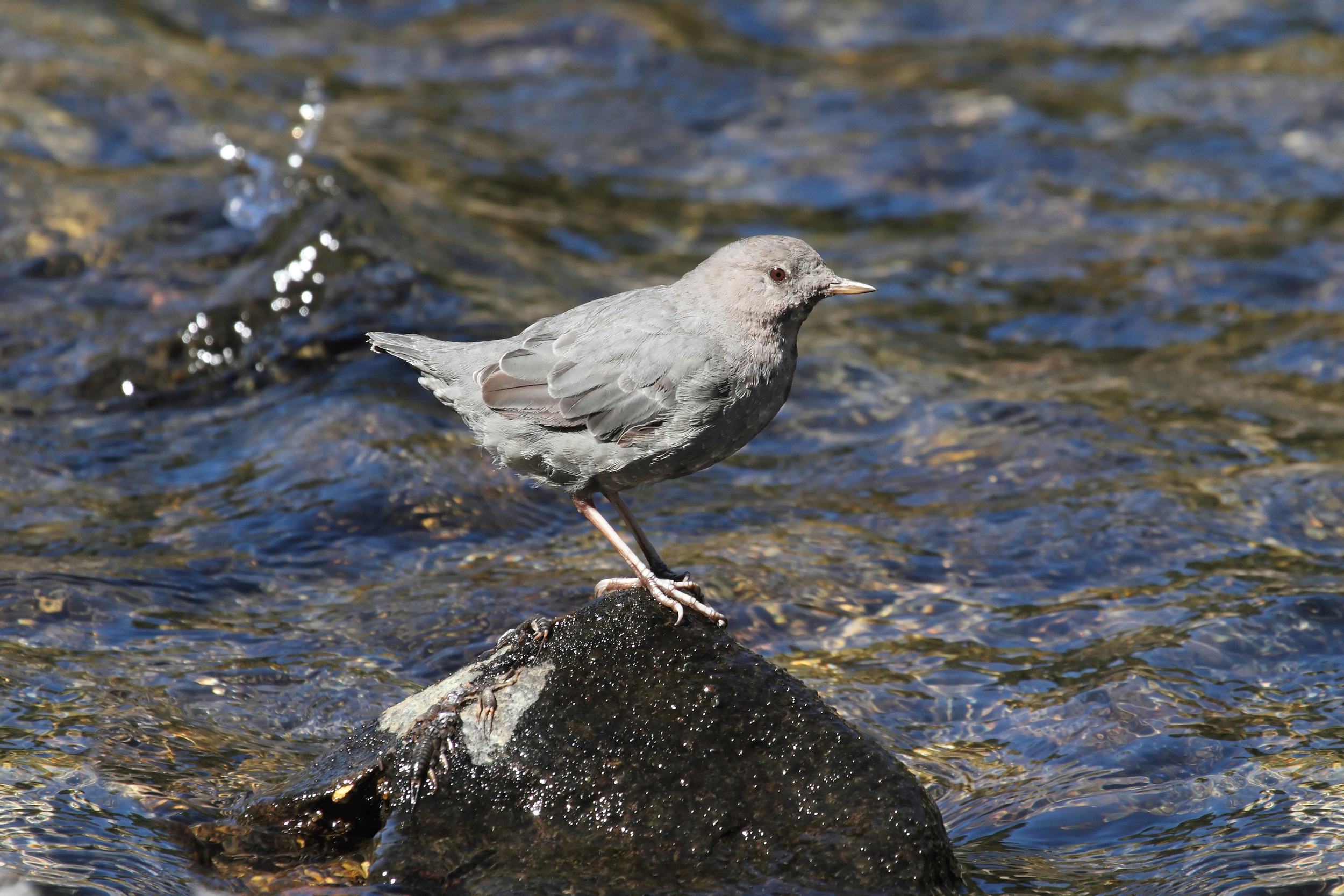 American Dipper ( Cinclus mexicanus ) is a torrent species living in cold, fast-flowing streams, where it feeds on aquatic insects. It swims actively and nests behind waterfalls.