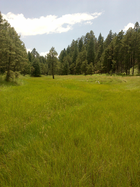Helocrene spring, Apache Sitgreaves National Forest, Arizona.