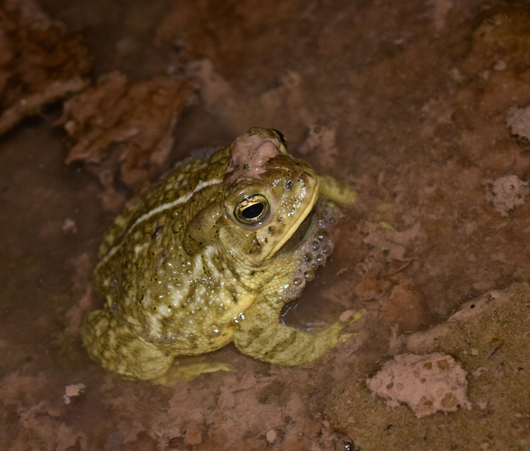 woodhouse toad.jpg