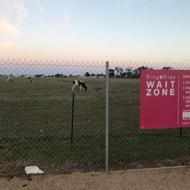 The waiting car park at Melbourne Airport is so far from the terminal.....there are cows.