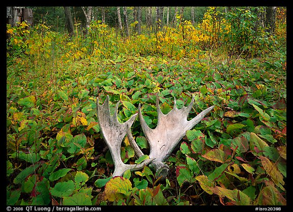 Either a moose forgot to put on his rack before heading out the door, or that is one short moose under those leaves.