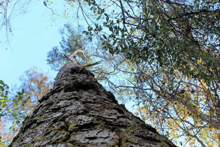 STANDING AT THE BASE OF THE CHAMPION LOBLOLLY PINE. WHEN I SAID HELLO SHE GRACEFULLY CURTSIED.