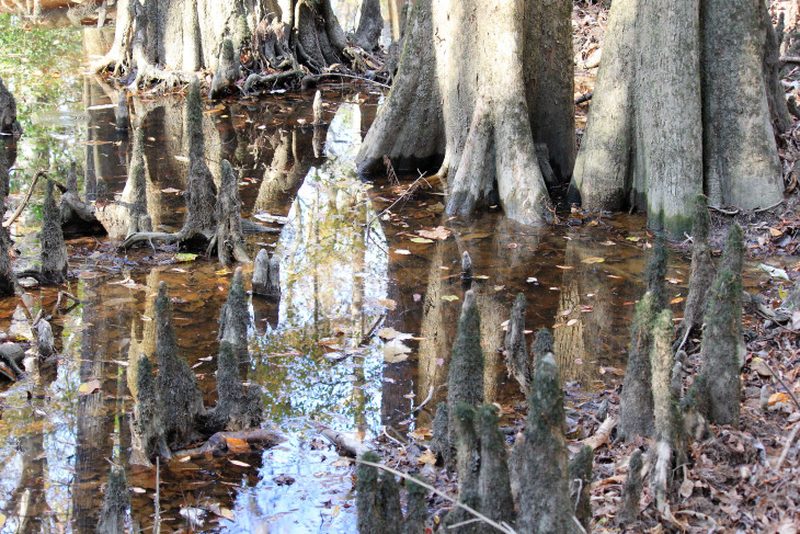 MULTI-FLUTED CYPRESS TREES AND THEIR KNEES TAKE LIFE FROM THE WATERS OF THE FLOODPLAIN. UNLIKE MANY OF THE HARDWOOD TREES WITH ROOTS THAT SPREAD, THE CYPRESS USES HER ROOT KNEES TO REMAIN STABLE.