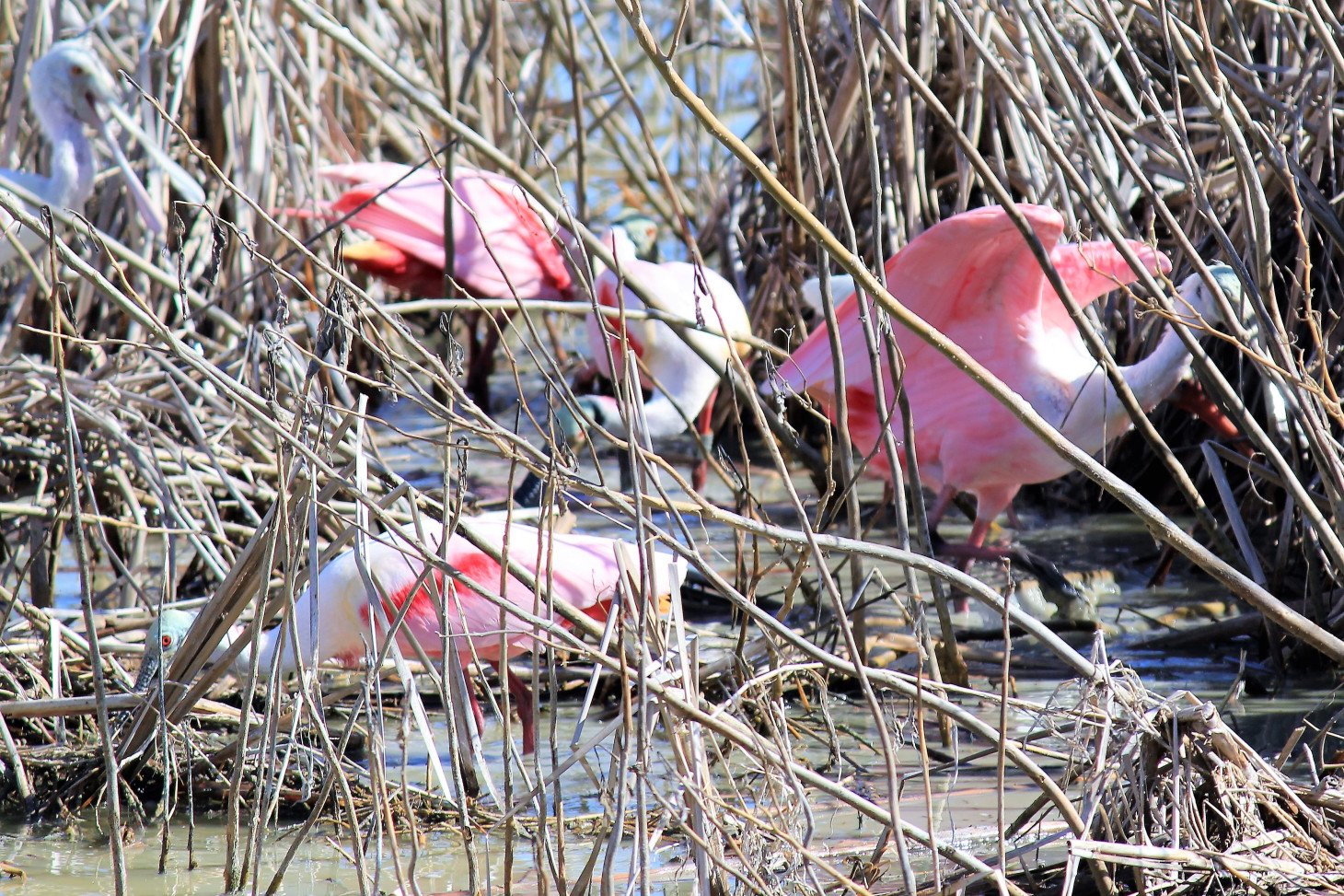 ROSEATE SPOONBILLS FEAST IN THE SLOWLY MOVING WATER.  THIS PARTICULAR GROUP HAD JUST RETURNED FROM A VERY COMPETITIVE GAME OF SHUFFLEBOARD.