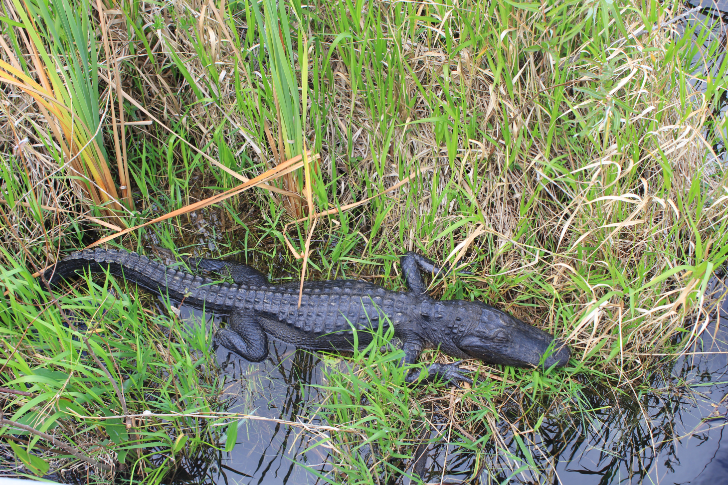 YOU DIDN'T THINK I WOULD DO A PIECE ON THE EVERGLADES AND NOT HAVE A PHOTO OF A GATOR DID YOU?  THIS WAS TAKEN MOMENTS BEFORE HE BIT OFF THE SECOND TOE OF MY LEFT FOOT.
