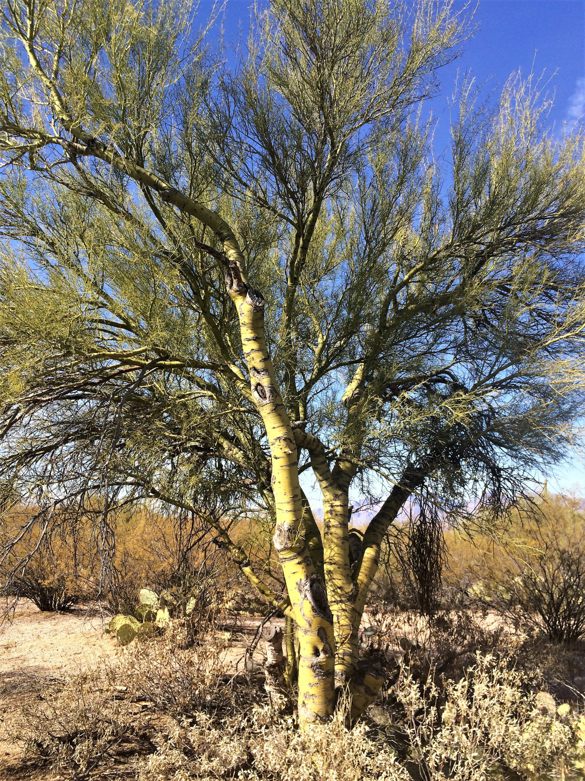 The beautiful, green skinned Paloverde tree.
