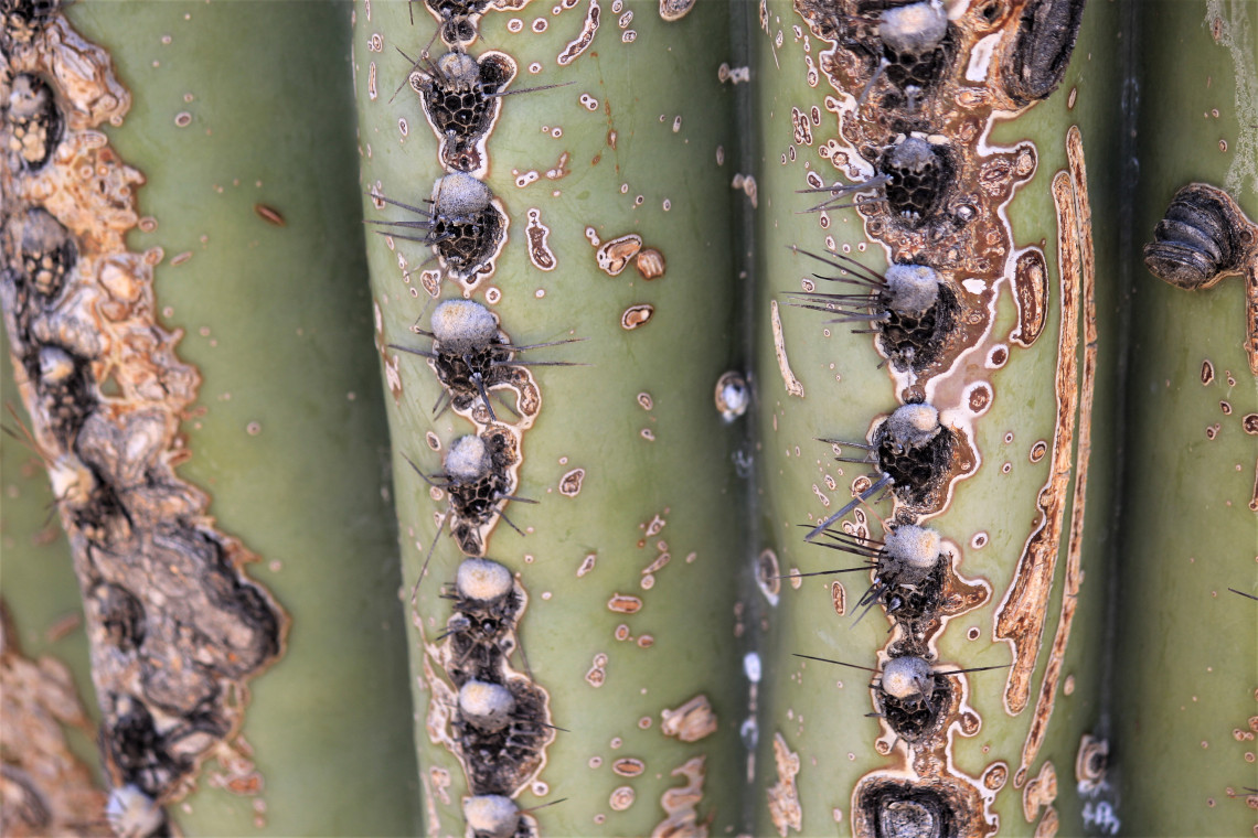 A close-up of the mighty, prickly saguaro, which can live well over 150 years.