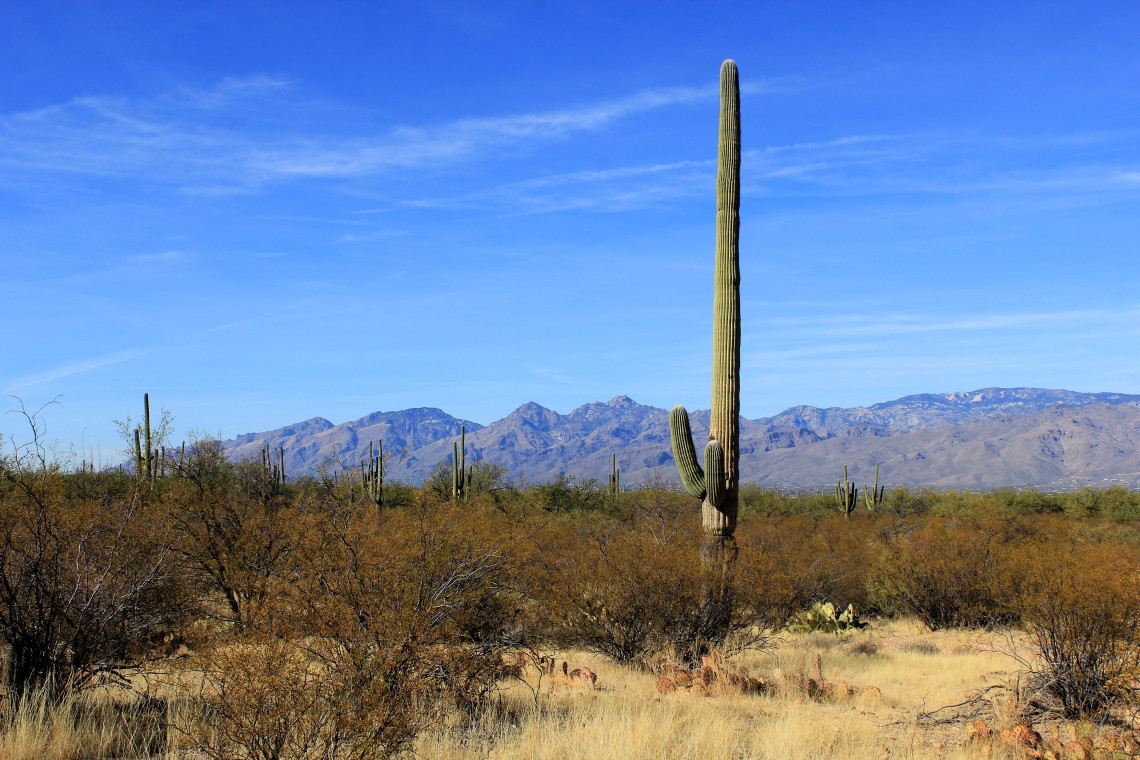 This cactus was about 40 feet tall. He had rather short arms, was a bachelor and considered odd by his neighbors.