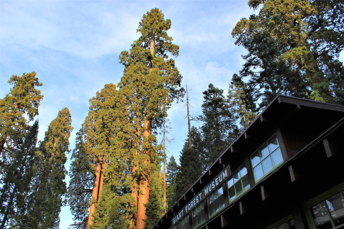 Sequoias towering over the Giant Forest Museum.