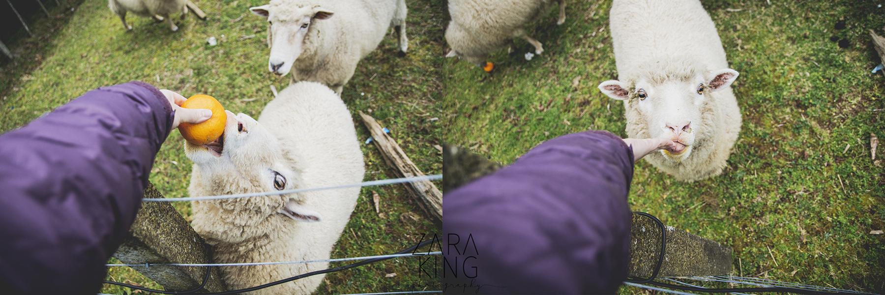 roadtrip - feeding sheep