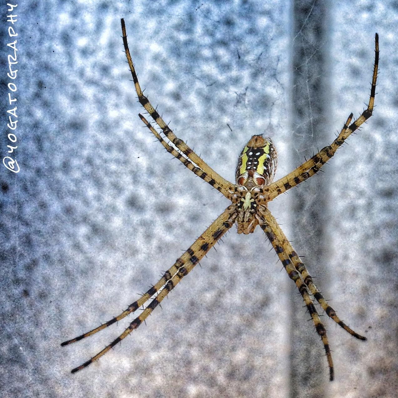 Yoga Animalia: Arachnid