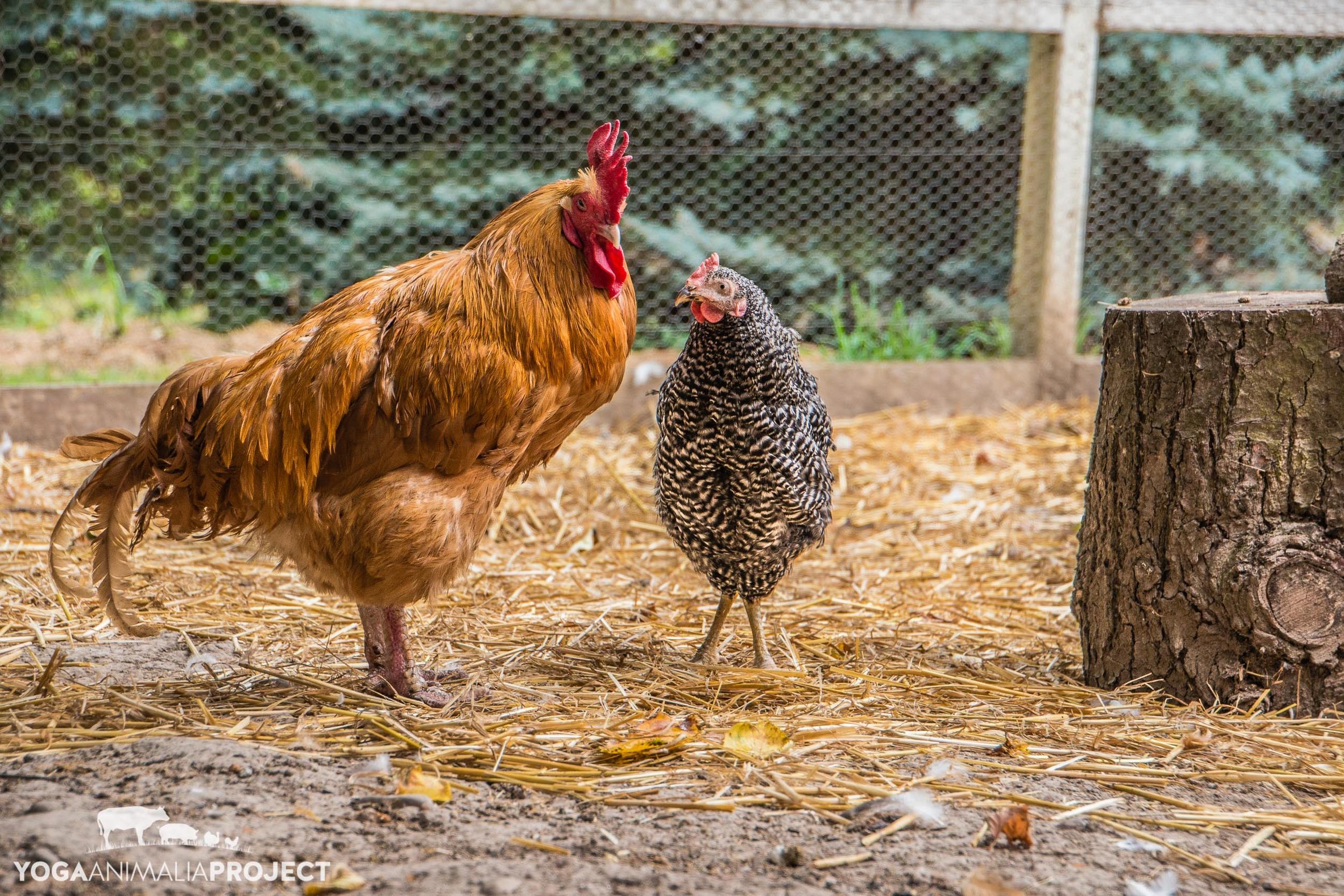 Mr. Rooster and Xena, Green Acres Farm Sanctuary, Silverton, Oregon