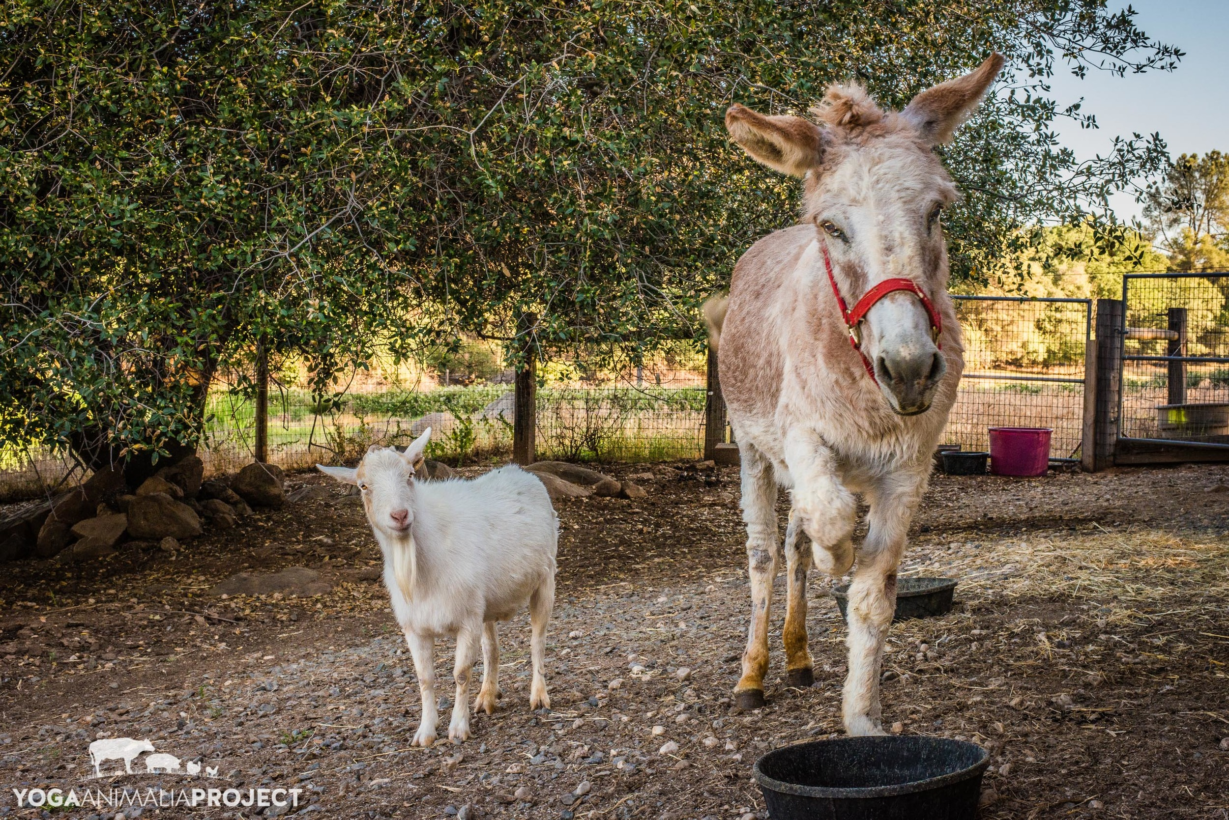 Mr. G and Jellybean, Animal Place, Grass Valley, California